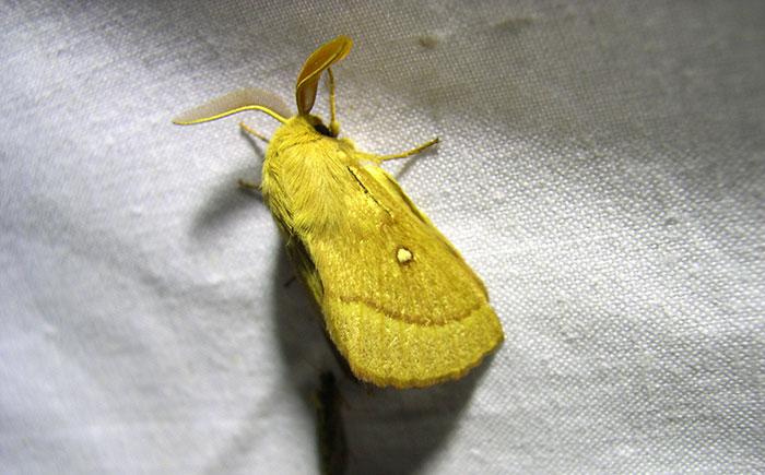 Lasiocampa trifolii M fontecha